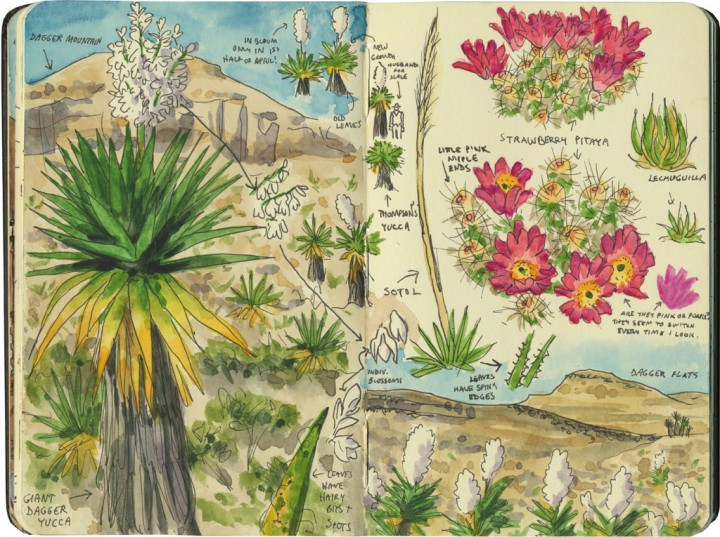 Big Bend cacti sketch by Chandler O'Leary