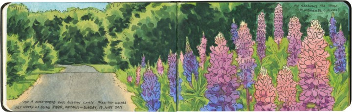 Lupines sketch by Chandler O'Leary