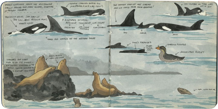 San Juan Island wildlife sketch by Chandler O'Leary