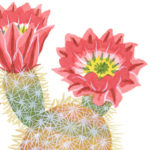 Cactus illustration by Chandler O'Leary