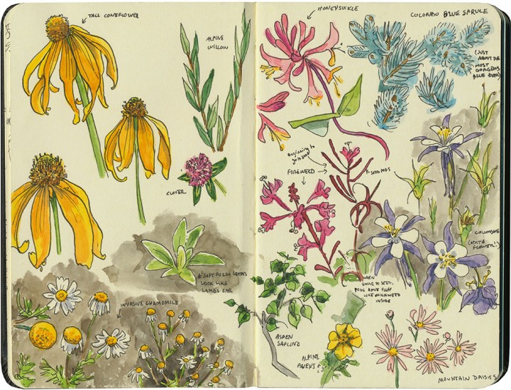 Colorado wildflowers sketch by Chandler O'Leary