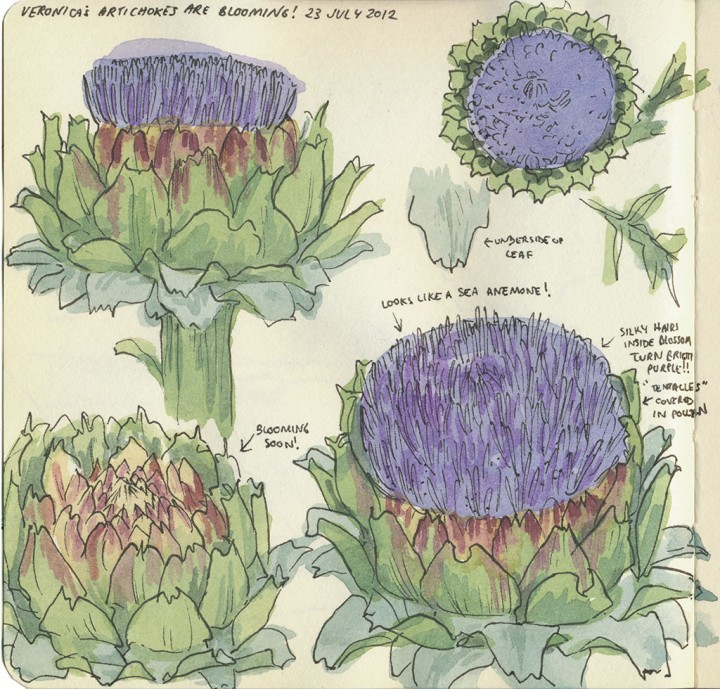 Artichokes sketch by Chandler O'Leary