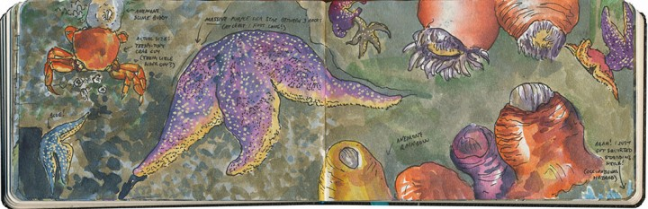 Puget Sound tide pools sketch by Chandler O'Leary