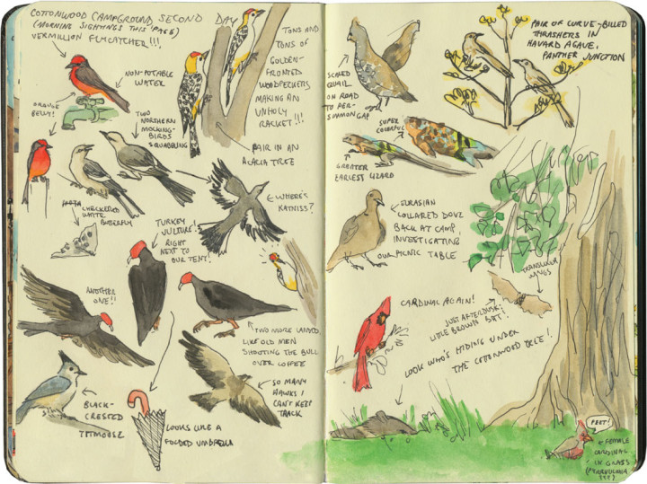 Big Bend National Park wildlife sketches by Chandler O'Leary