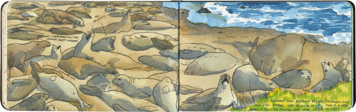Elephant seals sketch by Chandler O'Leary