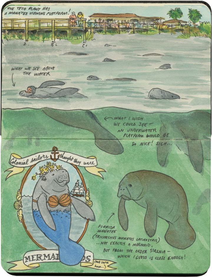 Apollo Beach manatee viewing sketch by Chandler O'Leary
