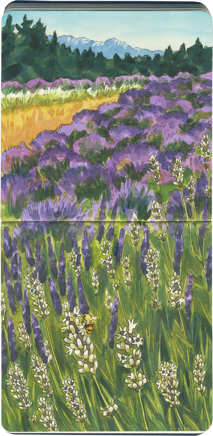 Pelindaba Lavender Farm sketch by Chandler O'Leary