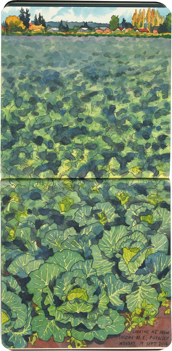 Cabbage field sketch by Chandler O'Leary