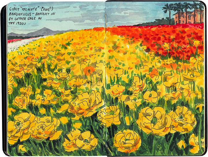 Ranunculus field sketch by Chandler O'Leary